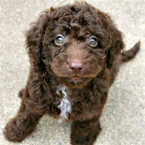 chocolate labradoodle puppies gracie s past litters of chocolate australian labradoodles