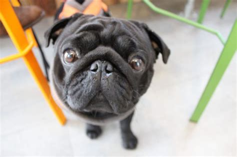 pug cafe tokyo you can enjoy a cup of coffee with your pug at this pop up pug caf 233 in