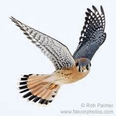 kestrel tattoo designs 1000 images about kestrel tat reference on