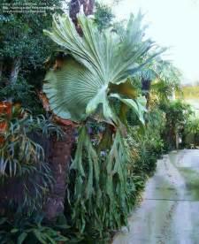 plantfiles pictures staghorn fern platycerium superbum