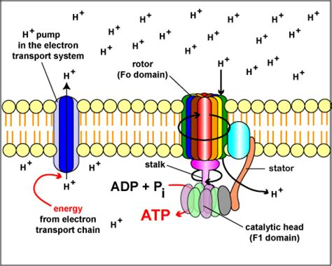 Generation Of Proton Gradients Across Membranes by Chemiosmosis And Atp Synthase