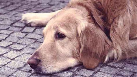 s disease in dogs disease in dogs www imgkid the image kid has it