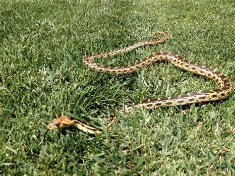 Snake In The Backyard What To Do by Is Your Yard A Snake Oasis Victor Valley News Vvng