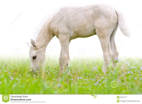 alimentazione puledro puledro cavallo in erba isolata su bianco fotografia