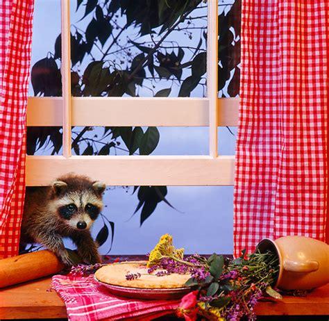 raccoon river boat rs raccoon animal stock photos kimballstock
