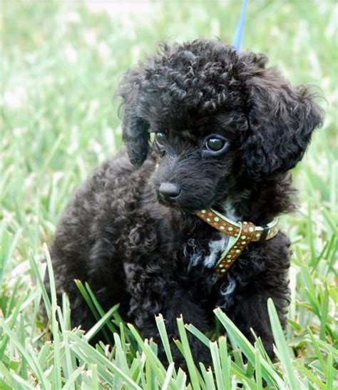 will shipoo puppy have curly hair curly hair dogs picture of black toy poodle puppy standing