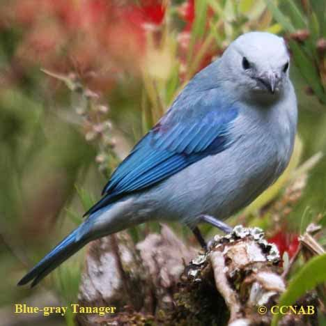 blue gray tanager north american birds birds  north