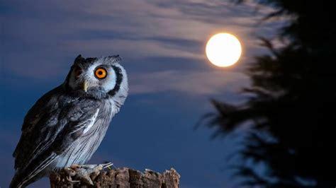 Harga Pakan Burung Hantu 36 fakta unik dan mitos burung hantu yang mencengangkan