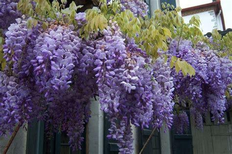 fiori glicine glicine wisteria sinensis wisteria sinensis piante