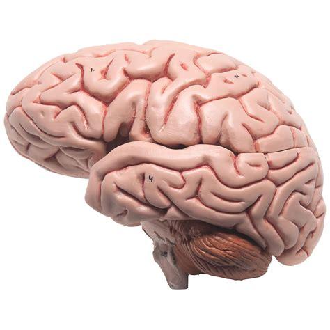 imagenes reales cerebro humano c 233 rebro cl 225 ssico 5 pe 231 as 1000226 3b scientific c18