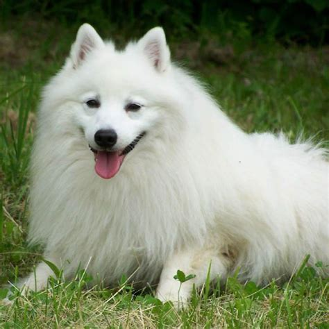 japanese spitz puppies japanese spitz breed guide learn about the japanese spitz