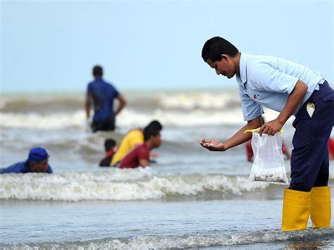 Kerang Kepah arus deras sebabkan kerang terdar di pantai mempisang