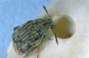 insects in your food pantry nebraska extension in