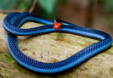 coral snake colors the blue coral snake in singapore the traveller