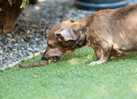 pooping puppy coprophagia stilwell positively
