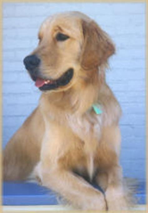 golden retriever colour range animal webpage project by st cin