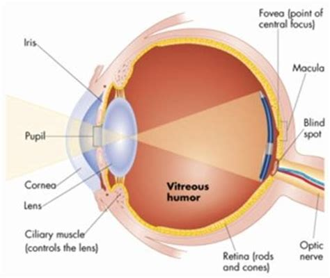 Why Do I A Blind Spot In My Vision human eye