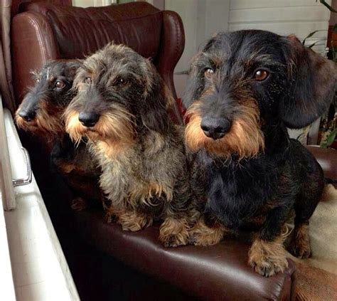 wire haired dachshund breeds picture