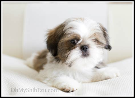 crate shih tzu puppy a shih tzu puppy is on the way
