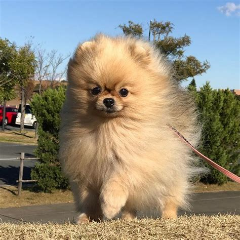 how much is a white teacup pomeranian 17 best ideas about teacup pomeranian puppy on teacup dogs pomeranian