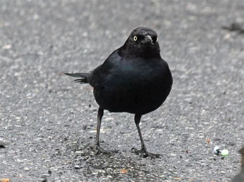 black bird birds of the world blackbirds