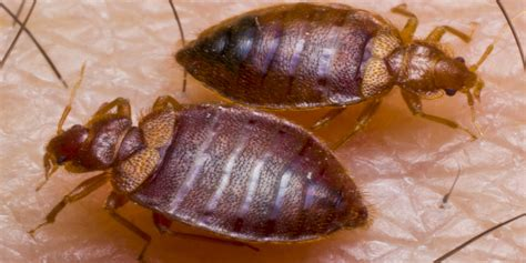 image bed bug where do bed bugs come from how to identify bed bugs