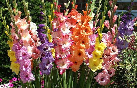 imagenes flores gladiolos gladiolo imagui