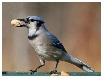 the blue jay raucus extrovert the noisy bird at the