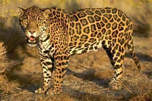 Describe A Jaguar What Is The Difference Between A Cheetah And A Leopard In