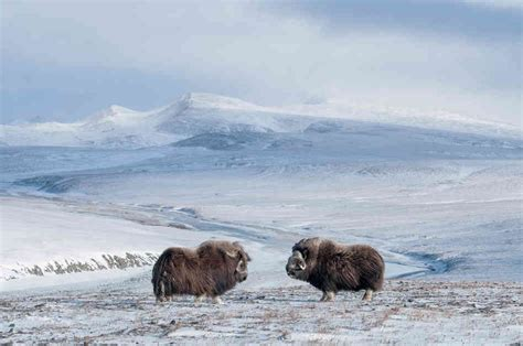 russian home wrangel island russia home for the last mammoth