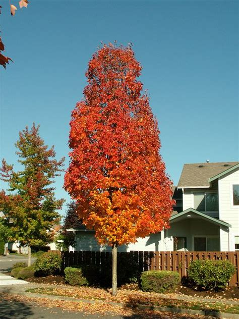 karpick maple tree shade and flowering trees for sale in boise