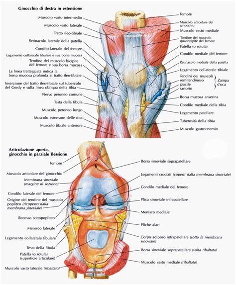 ginocchio dolore interno 174 fisioriab il ginocchio anatomia e biomeccanica