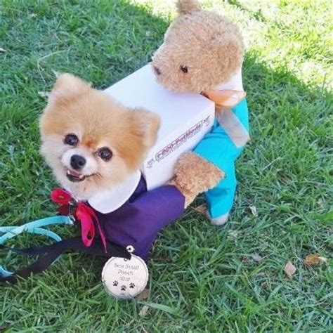 pomeranian costumes 10 costumes that prove pomeranians always win at