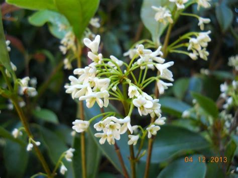 fragrant plants florida 17 best images about fragrant plants it s all about the