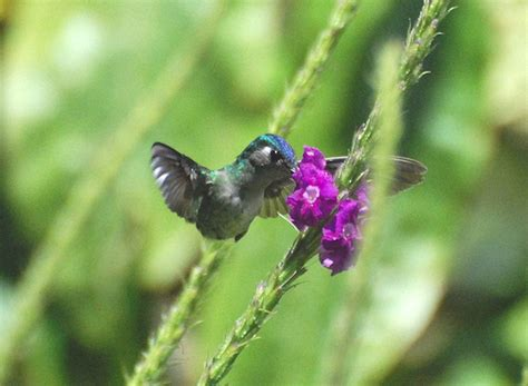 violet headed hummingbird hummingbird facts and information