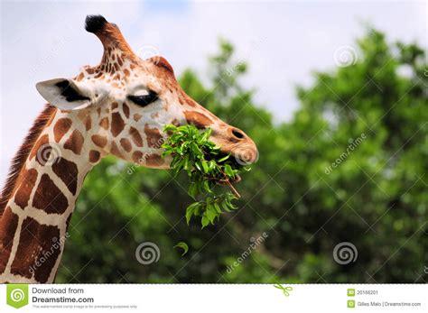imagenes de jirafas comiendo hojas jirafa que come las hojas imagen de archivo imagen de