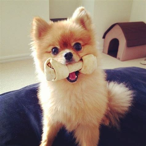 short haircuts for pomeranians 470 best pomeranian images on pinterest