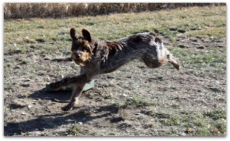 wirehaired pointing griffon puppies price our prices wirehaired pointing griffons