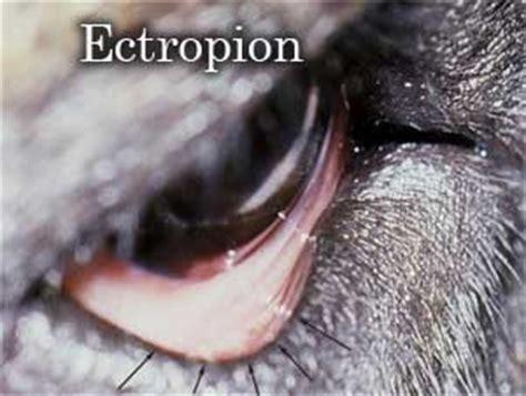 entropion in rottweilers l ectropion et l entropion chez le chien et chez le rottweiler