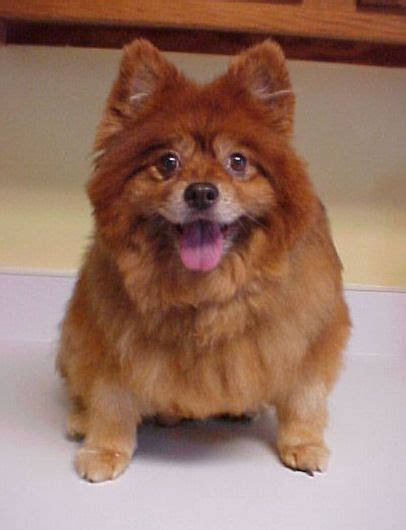 chow chow pomeranian doodles chow chow mix and pomeranians on