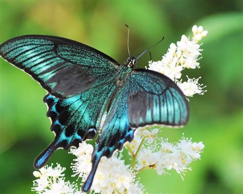 imagenes mariposas para uñas картинка бабочка махаон лето цветок парусник 1280x1024