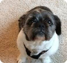 bulldog shih tzu mix bulldog shih tzu ideal pets lol and shih tzu