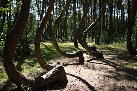 crooked forest poland 15 fascinating riddles of earth legendarytrips