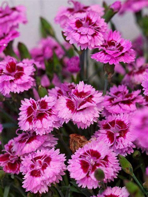 17 best images about long blooming perennial flower on pinterest gardens sun and perennials