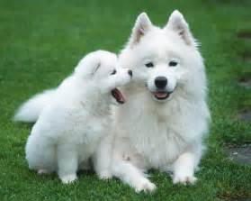 samoyed colors puppy image gallery