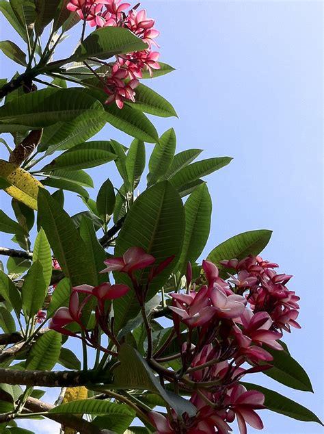 Bunga Plumeria Frangipani Pink Marine 17 best images about plumeria flowers on