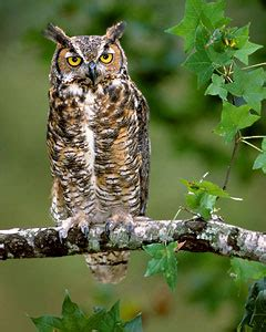 great horned owl call a birds delight