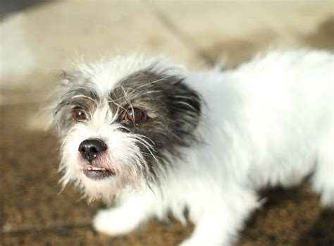 shih tzu terrier mix price shih tzu terrier mix