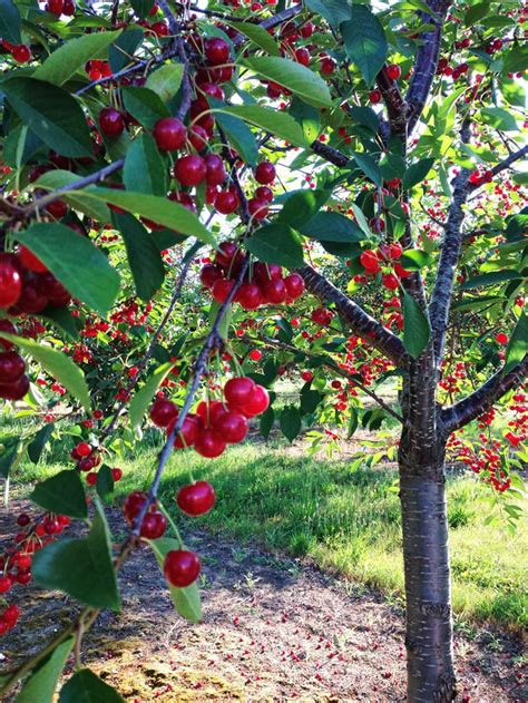 michigan fruit trees for sale how to grow cherry tree form seed banggood official