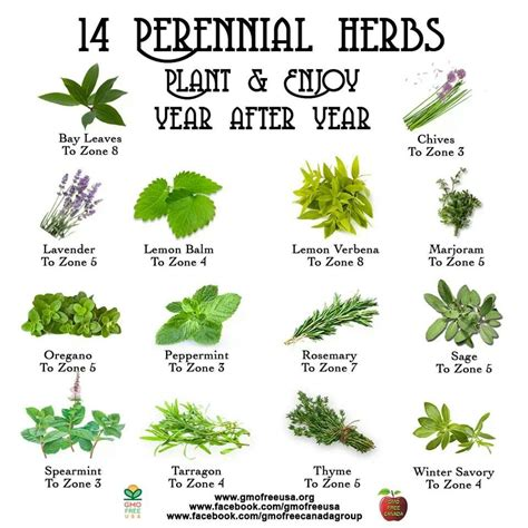 Herbs For Garden by 14 Perennial Herbs And Zones Garden Homestead